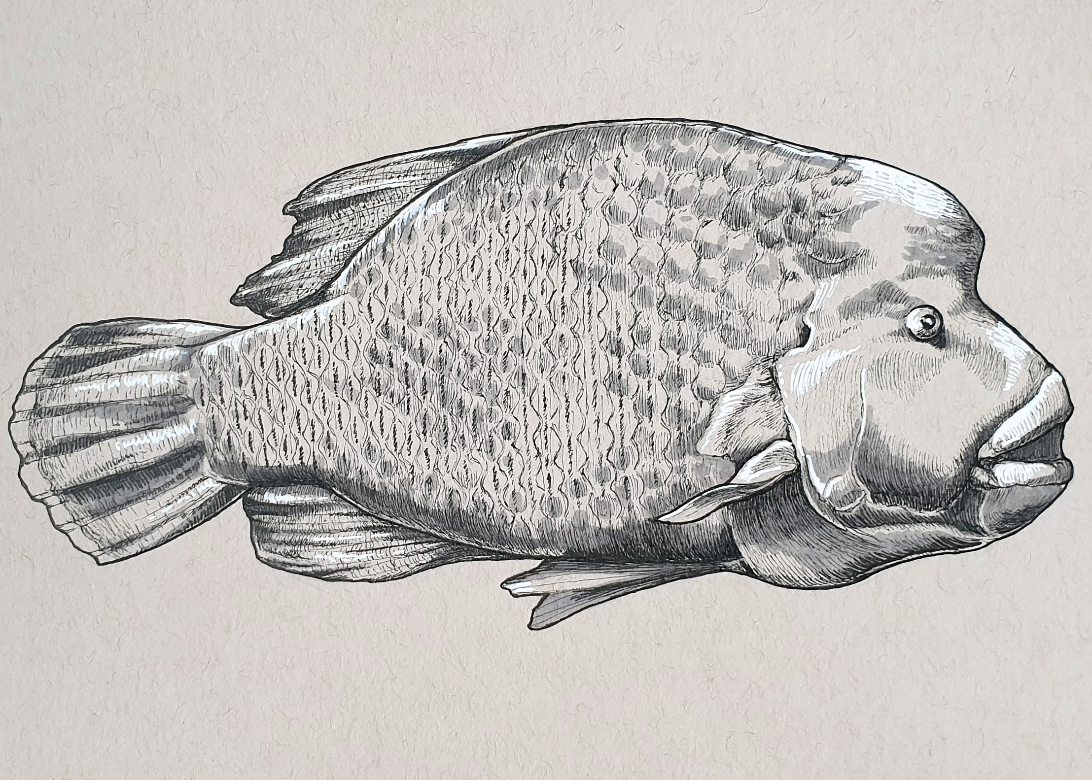 Day 29: Humphead Wrasse