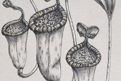 Day 10: Nepenthes attenboroughii